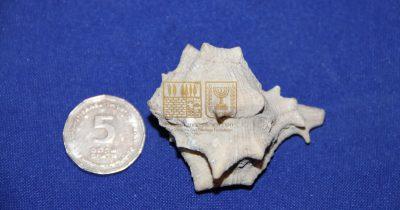 מה עושה קונכייה עתיקה של ארגמון חד-קוצים ליד הכותל המערבי בירושלים?