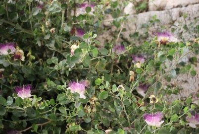 צמחיה על הכותל